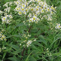 Plant form: Doellingeria umbellata. ~ By Glen Mittelhauser. ~ Copyright © 2019 Glen Mittelhauser. ~ www.mainenaturalhistory.org