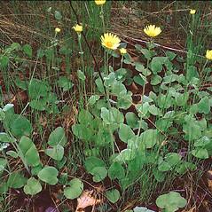 Plant form: Doronicum pardalianches. ~ By Alexey Zinovjev. ~ Copyright © 2017. ~ webmaster[at]salicicola.com ~ Salicicola - www.salicicola.com/