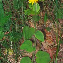 Leaves: Doronicum pardalianches. ~ By Alexey Zinovjev. ~ Copyright © 2017. ~ webmaster[at]salicicola.com ~ Salicicola - www.salicicola.com/