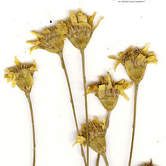 Flowers: Dyssodia papposa. ~ By CONN Herbarium. ~ Copyright © 2020 CONN Herbarium. ~ Requests for image use not currently accepted by copyright holder ~ U. of Connecticut Herbarium - bgbaseserver.eeb.uconn.edu/
