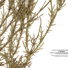 Leaves: Dyssodia papposa. ~ By CONN Herbarium. ~ Copyright © 2017 CONN Herbarium. ~ Requests for image use not currently accepted by copyright holder ~ U. of Connecticut Herbarium - bgbaseserver.eeb.uconn.edu/
