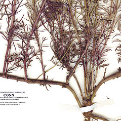 Stems: Dyssodia papposa. ~ By CONN Herbarium. ~ Copyright © 2020 CONN Herbarium. ~ Requests for image use not currently accepted by copyright holder ~ U. of Connecticut Herbarium - bgbaseserver.eeb.uconn.edu/