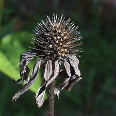 Fruits: Echinacea purpurea. ~ By Steven Baskauf. ~ Copyright © 2019 CC-BY-NC-SA. ~  ~ Bioimages - www.cas.vanderbilt.edu/bioimages/frame.htm