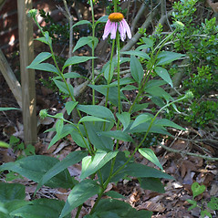 Plant form: Echinacea purpurea. ~ By Steven Baskauf. ~ Copyright © 2019 CC-BY-NC-SA. ~  ~ Bioimages - www.cas.vanderbilt.edu/bioimages/frame.htm