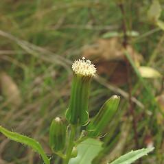 Flowers: Erechtites hieraciifolius. ~ By Glen Mittelhauser. ~ Copyright © 2018 Glen Mittelhauser. ~ www.mainenaturalhistory.org