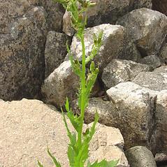 Plant form: Erechtites hieraciifolius. ~ By Glen Mittelhauser. ~ Copyright © 2018 Glen Mittelhauser. ~ www.mainenaturalhistory.org