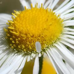 Flowers: Erigeron annuus. ~ By Arieh Tal. ~ Copyright © 2018 Arieh Tal. ~ http://botphoto.com/ ~ Arieh Tal - botphoto.com