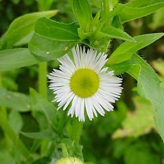 Flowers: Erigeron annuus. ~ By Glen Mittelhauser. ~ Copyright © 2018 Glen Mittelhauser. ~ www.mainenaturalhistory.org