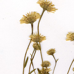 Flowers: Erigeron hyssopifolius. ~ By CONN Herbarium. ~ Copyright © 2018 CONN Herbarium. ~ Requests for image use not currently accepted by copyright holder ~ U. of Connecticut Herbarium - bgbaseserver.eeb.uconn.edu/
