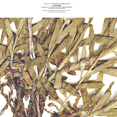 Stems: Erigeron hyssopifolius. ~ By CONN Herbarium. ~ Copyright © 2017 CONN Herbarium. ~ Requests for image use not currently accepted by copyright holder ~ U. of Connecticut Herbarium - bgbaseserver.eeb.uconn.edu/