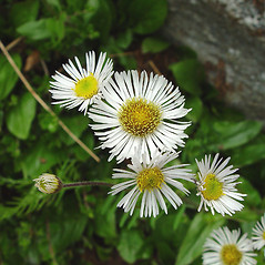Flowers: Erigeron pulchellus. ~ By Arthur Haines. ~ Copyright © 2017. ~ arthurhaines[at]wildblue.net