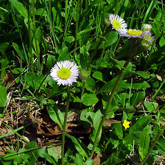 Plant form: Erigeron pulchellus. ~ By Arthur Haines. ~ Copyright © 2018. ~ arthurhaines[at]wildblue.net
