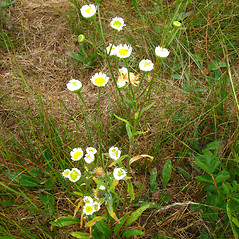 Plant form: Erigeron strigosus. ~ By Donna Kausen. ~ Copyright © 2020 Donna Kausen. ~ 33 Bears Den, Addison, ME 04606