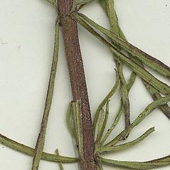 Stems: Eupatorium hyssopifolium. ~ By Missouri Botanical Garden. ~ Copyright © 2018 CC-BY-NC-SA. ~  ~ Tropicos, Missouri Botanical Garden - www.tropicos.org