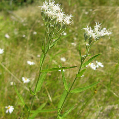Plant form: Eupatorium novae-angliae. ~ By Jennifer Garrett. ~ Copyright © 2020 Jennifer Garrett. ~ gemmiferg[at]gmail.com
