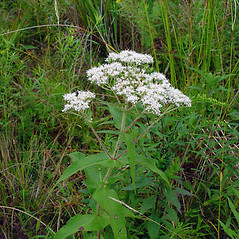 Plant form: Eupatorium perfoliatum. ~ By Arthur Haines. ~ Copyright © 2020. ~ arthurhaines[at]wildblue.net