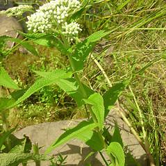 Plant form: Eupatorium perfoliatum. ~ By Glen Mittelhauser. ~ Copyright © 2018 Glen Mittelhauser. ~ www.mainenaturalhistory.org