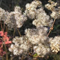 Fruits: Eupatorium pilosum. ~ By Bruce Patterson. ~ Copyright © 2020 Bruce Patterson. ~ foxpatterson[at]comcast.net