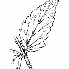 Leaves: Eupatorium pilosum. ~ By Gordon Morrison. ~ Copyright © 2017 New England Wild Flower Society. ~ Image Request, images[at]newenglandwild.org