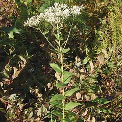 Plant form: Eupatorium pubescens. ~ By Deborah Lievens. ~ Copyright © 2018 Deborah Lievens. ~ dlievens[at]ix.netcom.com