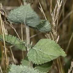 Leaves: Eupatorium rotundifolium. ~ By Robert H. Mohlenbrock. ~  Public Domain. ~  ~ USDA-NRCS Plants Database - plants.usda.gov/java/