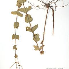 Plant form: Eupatorium rotundifolium. ~ By University of Massachusetts Herbarium (MASS). ~ Copyright © 2017 University of Massachusetts Herbarium. ~ University of Massachusetts Herbarium ~ U. of Massachusetts Herbarium