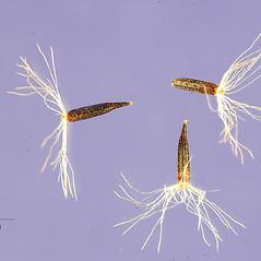 Fruits: Eupatorium sessilifolium. ~ By Tracey Slotta. ~  Public Domain. ~   ~ USDA-NRCS Plants Database - plants.usda.gov/java/