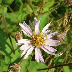 Flowers: Eurybia macrophylla. ~ By Glen Mittelhauser. ~ Copyright © 2018 Glen Mittelhauser. ~ www.mainenaturalhistory.org