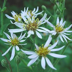 Flowers: Eurybia macrophylla. ~ By Glen Mittelhauser. ~ Copyright © 2019 Glen Mittelhauser. ~ www.mainenaturalhistory.org