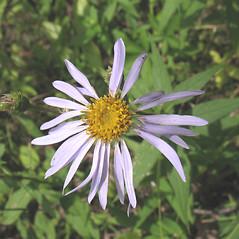 Flowers: Eurybia radula. ~ By Marilee Lovit. ~ Copyright © 2020 Marilee Lovit. ~ lovitm[at]gmail.com