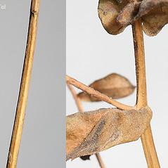 Stems: Eurybia radula. ~ By Arieh Tal. ~ Copyright © 2020 Arieh Tal. ~ http://botphoto.com/ ~ Arieh Tal - botphoto.com