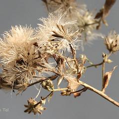 Fruits: Eurybia schreberi. ~ By Arieh Tal. ~ Copyright © 2017 Arieh Tal. ~ http://botphoto.com/ ~ Arieh Tal - botphoto.com