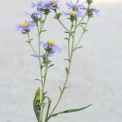 Flowers: Eurybia spectabilis. ~ By Arieh Tal. ~ Copyright © 2018 Arieh Tal. ~ http://botphoto.com/ ~ Arieh Tal - botphoto.com
