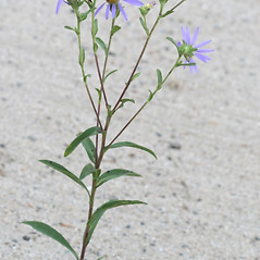 Plant form: Eurybia spectabilis. ~ By Arieh Tal. ~ Copyright © 2018 Arieh Tal. ~ http://botphoto.com/ ~ Arieh Tal - botphoto.com