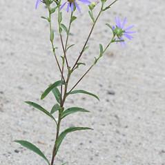 Plant form: Eurybia spectabilis. ~ By Arieh Tal. ~ Copyright © 2019 Arieh Tal. ~ www.nttlphoto.com ~ Arieh Tal - www.nttlphoto.com