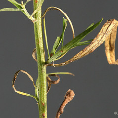 Stems: Euthamia caroliniana. ~ By Arieh Tal. ~ Copyright © 2020 Arieh Tal. ~ http://botphoto.com/ ~ Arieh Tal - botphoto.com