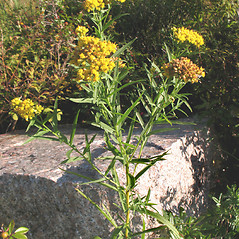 Plant form: Euthamia graminifolia. ~ By Marilee Lovit. ~ Copyright © 2018 Marilee Lovit. ~ lovitm[at]gmail.com