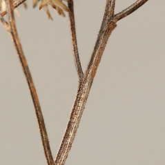 Stems: Euthamia graminifolia. ~ By Arieh Tal. ~ Copyright © 2018 Arieh Tal. ~ http://botphoto.com/ ~ Arieh Tal - botphoto.com