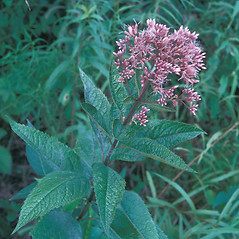 Plant form: Eutrochium dubium. ~ By Frank Bramley. ~ Copyright © 2018 New England Wild Flower Society. ~ Image Request, images[at]newenglandwild.org