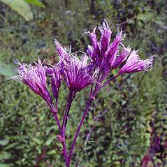 Flowers: Eutrochium fistulosum. ~ By Arthur Haines. ~ Copyright © 2019. ~ arthurhaines[at]wildblue.net