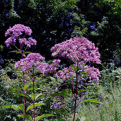 Plant form: Eutrochium fistulosum. ~ By Arthur Haines. ~ Copyright © 2018. ~ arthurhaines[at]wildblue.net