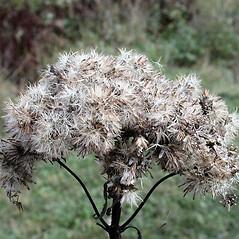 Fruits: Eutrochium maculatum. ~ By Andrew Nelson. ~ Copyright © 2018 Andrew Nelson. ~ andrew.nelson[at]oswego.edu   ~ Flora of Rice Creek Field Station - www.oswego.edu/academics/opportunities/rice_creek_field_station