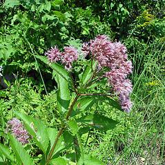 Plant form: Eutrochium maculatum. ~ By Arthur Haines. ~ Copyright © 2019. ~ arthurhaines[at]wildblue.net