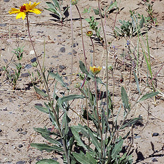 Plant form: Gaillardia aristata. ~ By Gerry Carr. ~ Copyright © 2018 Gerry Carr. ~ gdcarr[at]comcast.net ~ Oregon Flora Image Project - www.botany.hawaii.edu/faculty/carr/ofp/ofp_index.htm