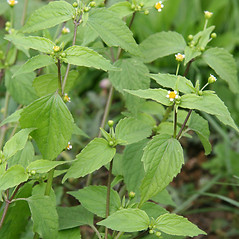 Plant form: Galinsoga parviflora. ~ By Robert Vid_ki. ~ Copyright © 2020 CC BY-NC 3.0. ~  ~ Bugwood - www.bugwood.org/
