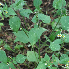 Leaves: Galinsoga quadriradiata. ~ By Arieh Tal. ~ Copyright © 2018 Arieh Tal. ~ http://botphoto.com/ ~ Arieh Tal - botphoto.com