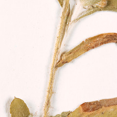 Stems: Gamochaeta pensylvanica. ~ By University of Massachusetts Herbarium (MASS). ~ Copyright © 2018 University of Massachusetts Herbarium. ~ University of Massachusetts Herbarium ~ U. of Massachusetts Herbarium