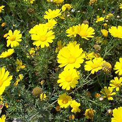 Plant form: Glebionis coronaria. ~ By Luigi Rignanese. ~ Copyright © 2018 Luigi Rignanese. ~ Requests for image use not currently accepted by copyright holder ~ CalPhotos - calphotos.berkeley.edu/flora/