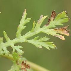 Leaves: Glebionis coronaria. ~ By David Fenwick. ~ Copyright © 2018 David Fenwick. ~ davidfenwicksnr[at]googlemail.com ~ www.aphotoflora.com