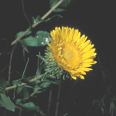 Flowers: Grindelia squarrosa. ~ By Frank Bramley. ~ Copyright © 2018 New England Wild Flower Society. ~ Image Request, images[at]newenglandwild.org